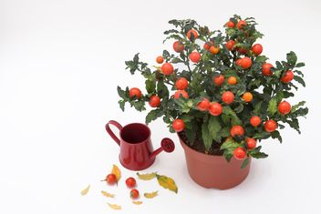 Solanum pseudocapsicum loneparent houseplant, red watering can on white background - бесплатный image #419653