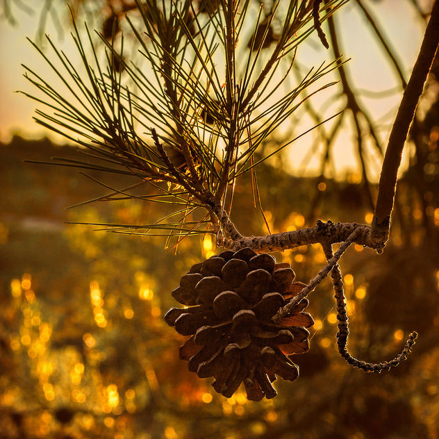 Pinecone at sunrise - бесплатный image #420603