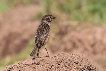 Lady Stonechat - Kostenloses image #422163