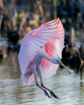 Roseate Spoonbills are back - Kostenloses image #423413