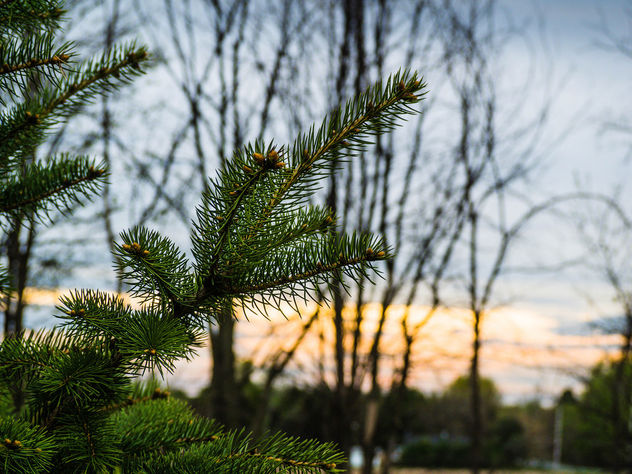 A branch of pine - Free image #426973