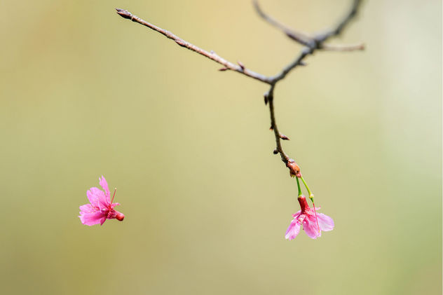 Falling Cherry Blossom - image #427183 gratis