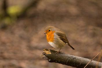 Robin - бесплатный image #427533