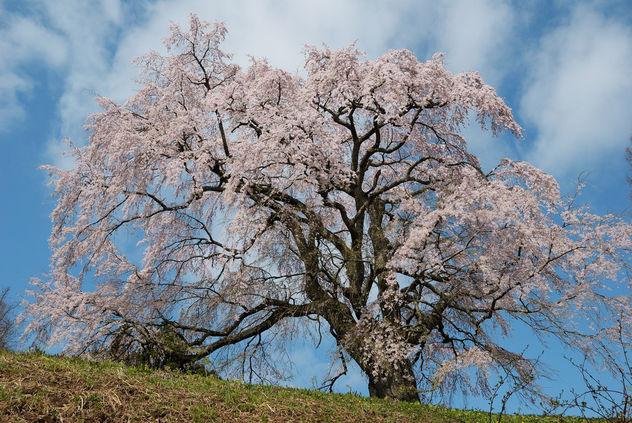 Spring aged tree - image #427883 gratis