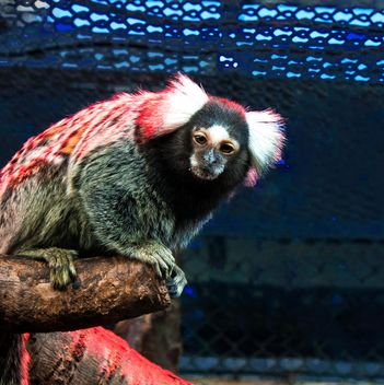 Marmoset monkey in zoo - бесплатный image #136633