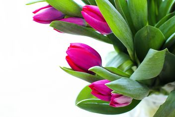 Beautiful Pink Tulips - Kostenloses image #182703