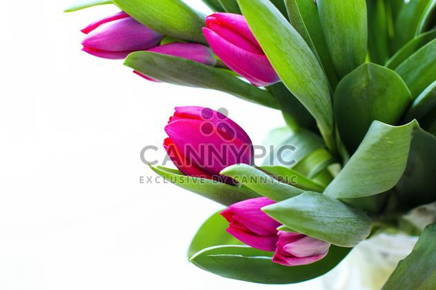 Beautiful Pink Tulips - Free image #182703