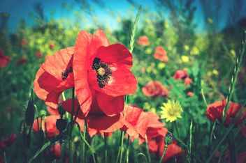 poppies on green field - image #182893 gratis