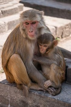 Family of monkeys at temple - Kostenloses image #183053