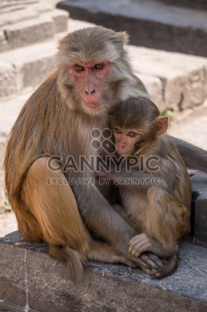 Family of monkeys at temple - Free image #183053