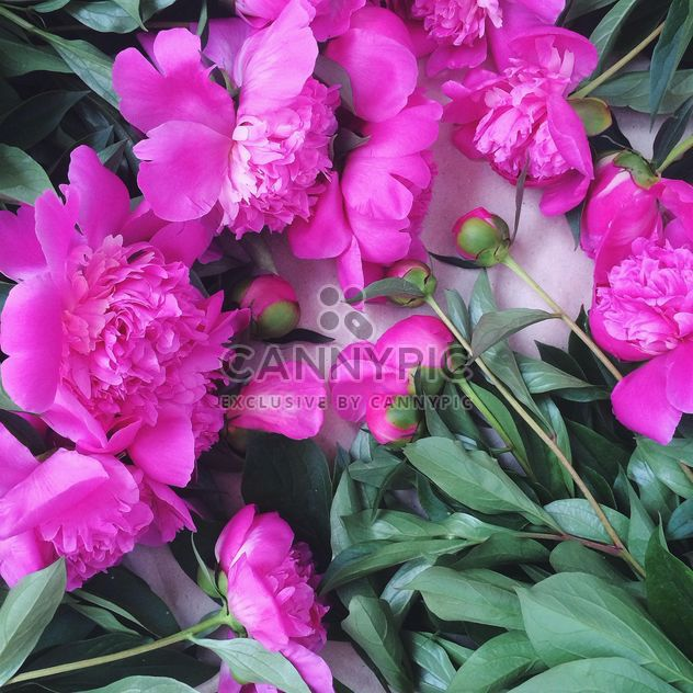 Nature morte rose pivoine - image gratuit #183173