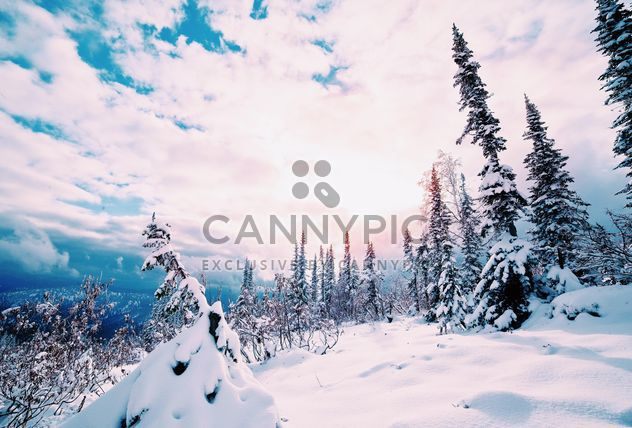 Fir trees in winter - Free image #184023