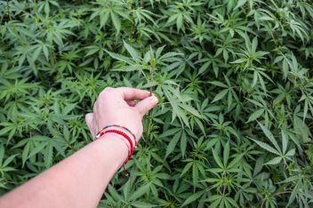 Picking marijuana plant - image #185763 gratis
