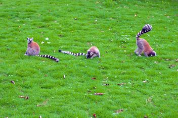 Lemurs on green grass - image #186043 gratis