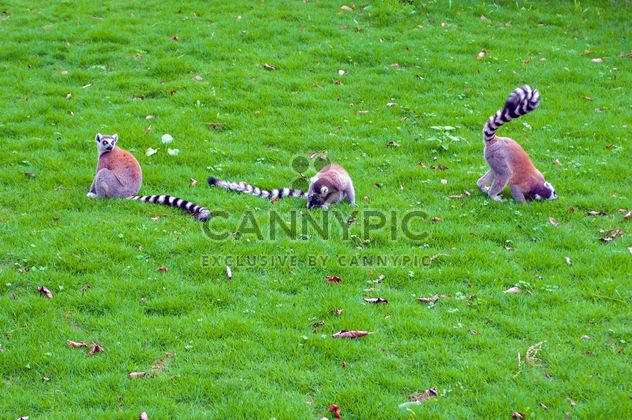 Lemurs on green grass - Free image #186043
