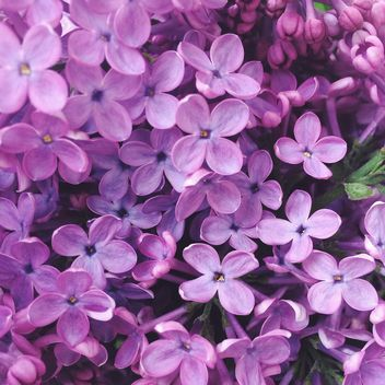 Close-up of lilac flowers - Free image #186153