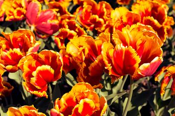 Orange tulips in garden - Free image #186753