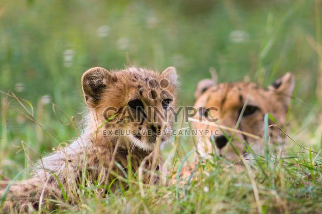 Cheetah baby with mother in grass - Free image #187433