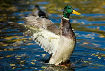 duck waving wings - image #187703 gratis
