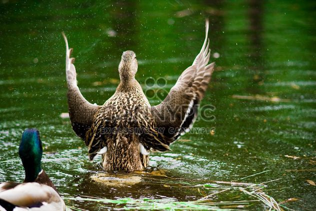 Ducks splashing in pond - image gratuit #187783