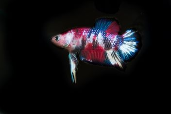 Siamese fighting fish in nano tank - image gratuit #198003
