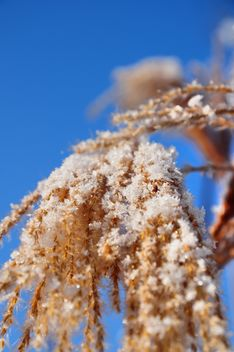 Close-up reeds with snow on sunshine against blue sky - image #198183 gratis