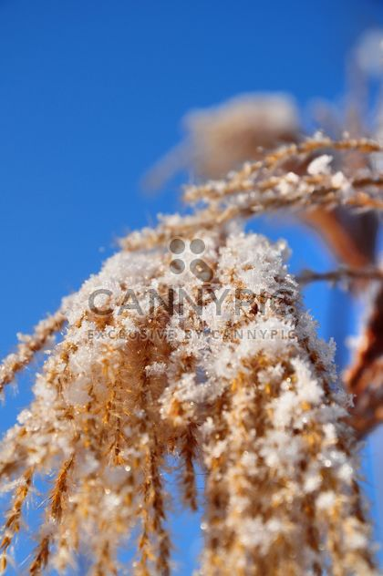 Close-up reeds with snow on sunshine against blue sky - Free image #198183