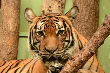 Tiger close up - image gratuit #201463