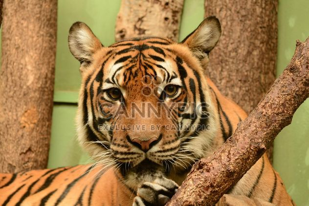 Tiger close up - Free image #201463