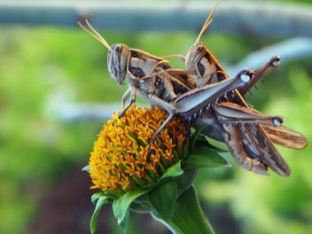 Two grasshoppers on the flower close-up - Kostenloses image #201513
