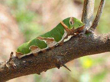 Green caterpillar on the branch - Kostenloses image #201523