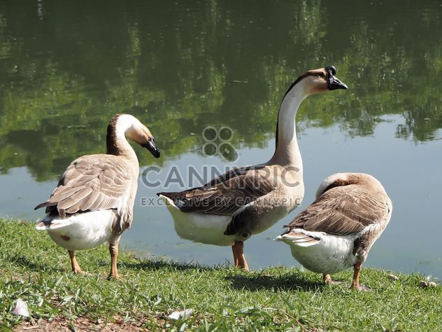 Goose in the park called - бесплатный image #201573