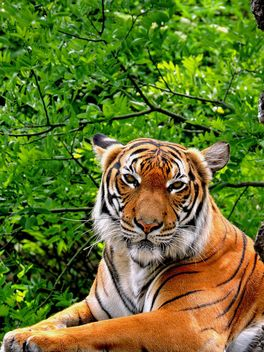 Tiger Close Up - image #201643 gratis