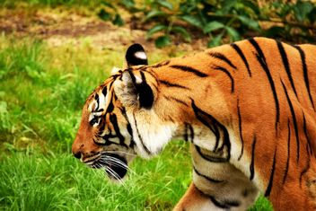 Tiger in the Zoo - Free image #201663