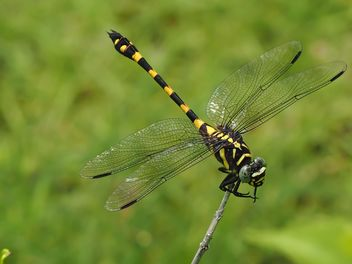 Tiger Dragonfly - Kostenloses image #201733