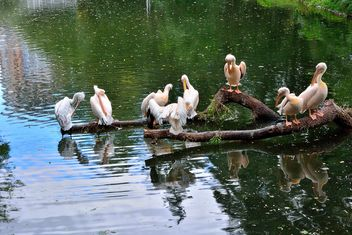 Pelicans on tree branch - image #229363 gratis