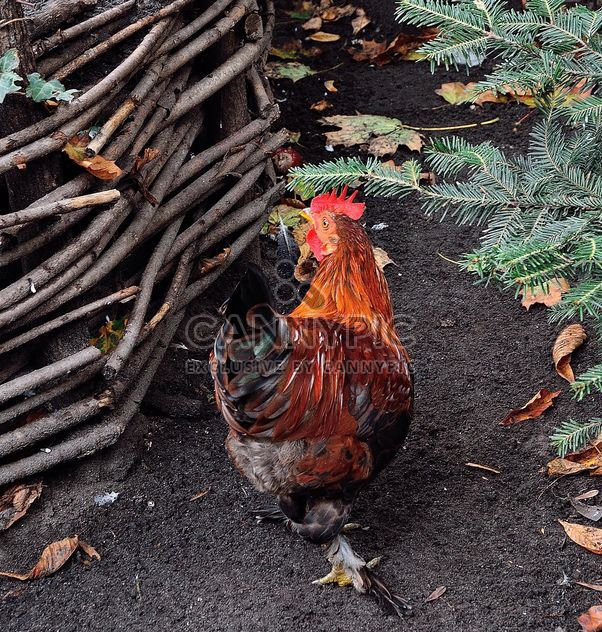 Hens in a farmyard - Free image #229423