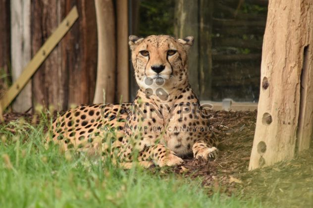 Cheetah on green grass - Free image #229483