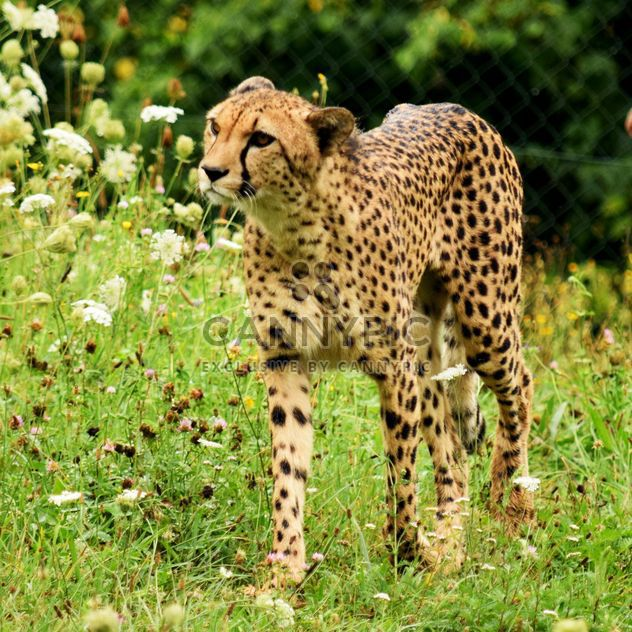 Cheetah on green grass - Free image #229493
