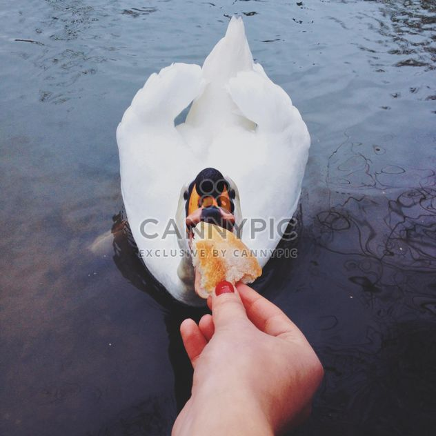 Swan eating bread out of hand - Free image #271663