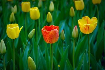 Tulips in the garden - Free image #271933