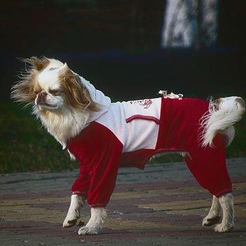 Dog in a fancy dress - image #271953 gratis