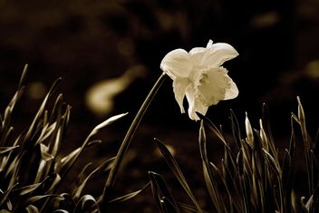 Close-up of white narcissus - image gratuit #271963