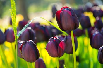 Field of violet tulips - image gratuit #272343
