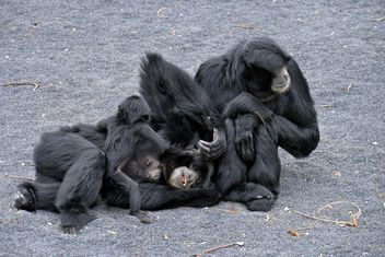 Family of gibbons - image gratuit #273013