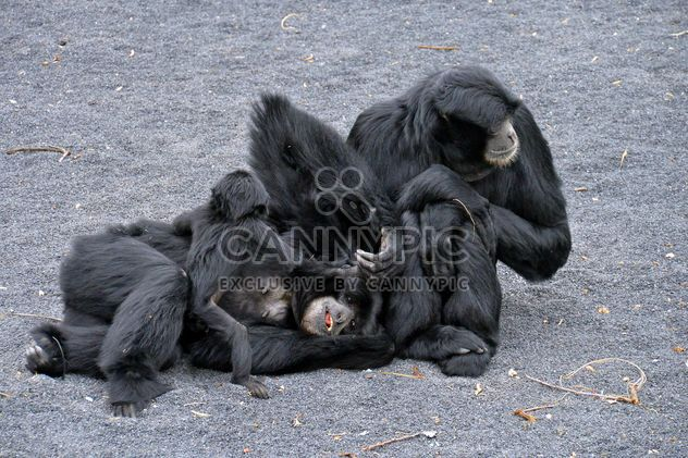 Family of gibbons - Free image #273013