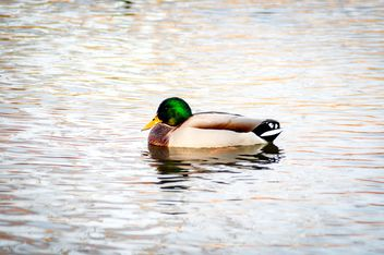 Wild duck on the water - image #273183 gratis
