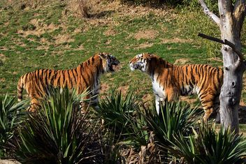 Tigers in a Zoo - Free image #273673