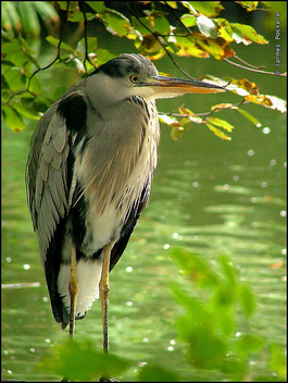 Heron in automn scene - Free image #275523