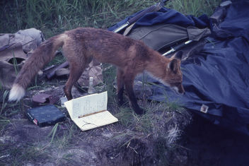 Red Fox inspecting an archaeological excavation at Kukak Bay, Alaska, 1965 - бесплатный image #275563